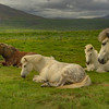 Four  Horses, Reykjanes Iceland
