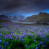 Lupins, Lake And Glacier,  South Iceland