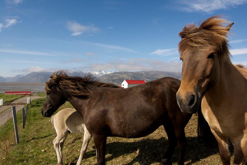 Three Horses, South Iceland