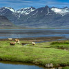 Sheep And Mountain, East Fjords Iceland