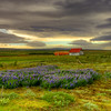 Farm House With Lupins, South Iceland