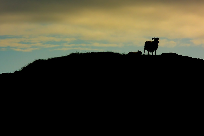 Sheep Silhouette, East Fjords Iceland