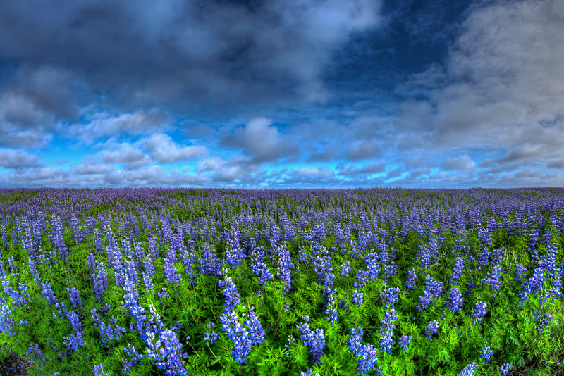 Field Of Lupins, South Iceland