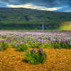 Lupins With Little Water Falls, South Iceland