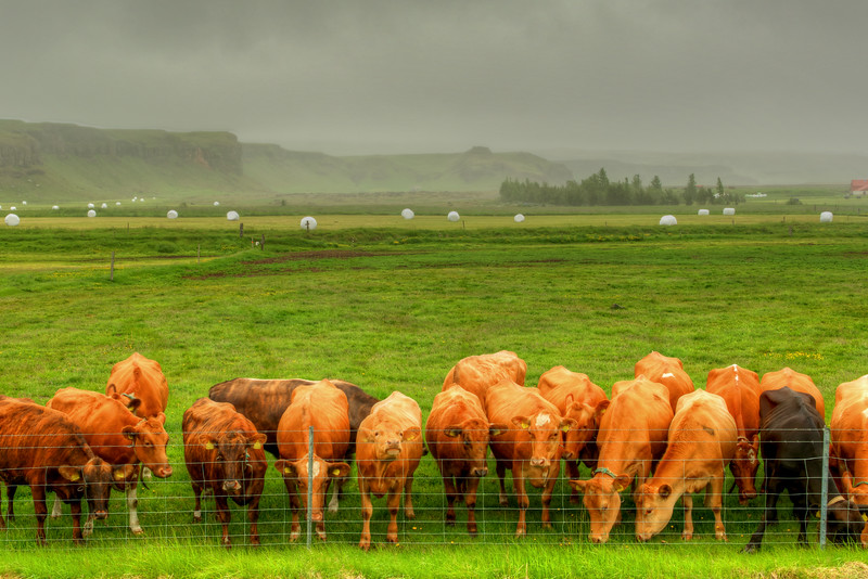 Cows And Hay Bales, South Iceland