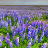 Lupin Meadow, South Iceland