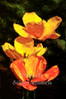 Beautiful blooming red and yellow flowers with dark background, close-up .