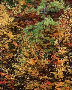 Aspen, Maple And Birch Trees