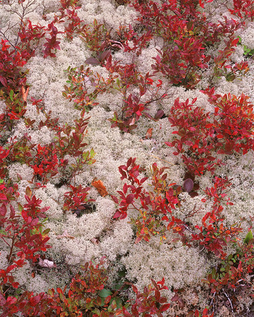 Reindeer Moss and Blueberry Leaves