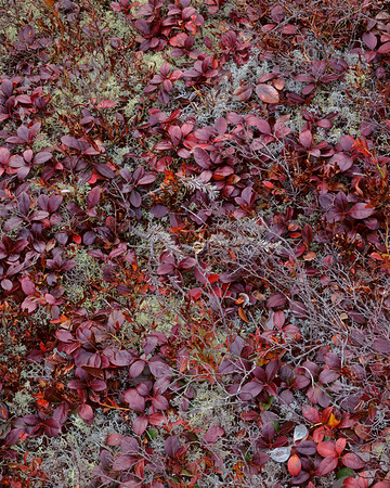 Lichens & Teaberry Leaves