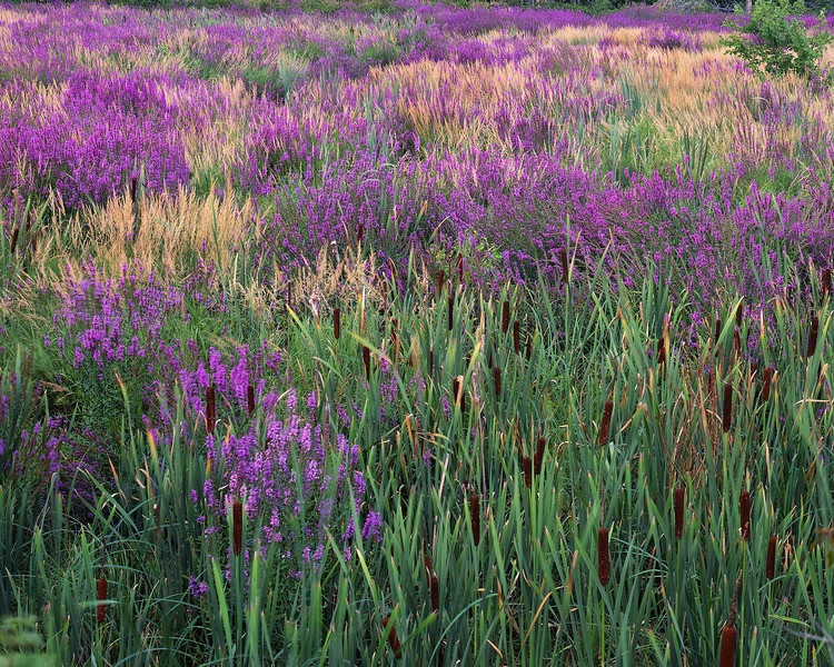 Loosestrife & Cattails III