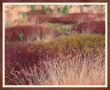Meadow of Blueberries and Grasses
