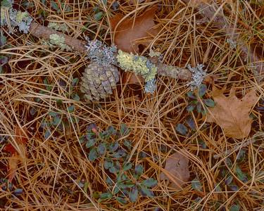 Lichens and Pine Cone