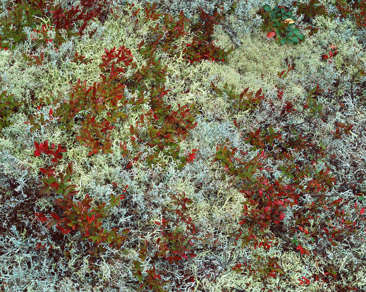 Reindeer Moss and Blueberry Leaves III