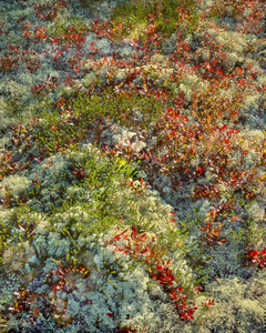 Reindeer Moss and Blueberry Leaves II