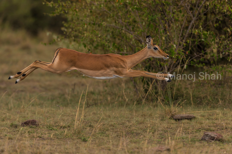 Female impalas  running and jumping