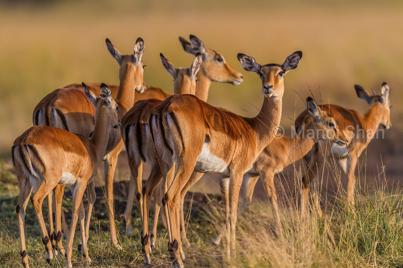 Female impala of the harem looks toward the male calling in Masai Mara