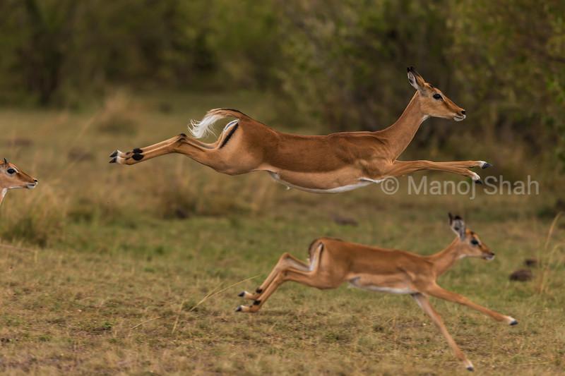 female Impala jumping