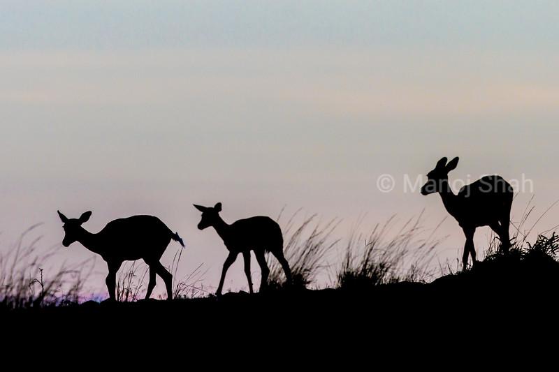 Impalas on a hill