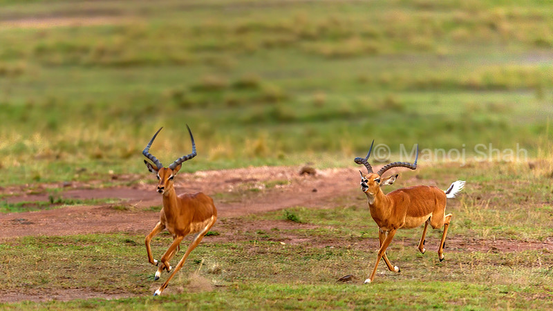 Male Impala chasing another in Masai Mara.