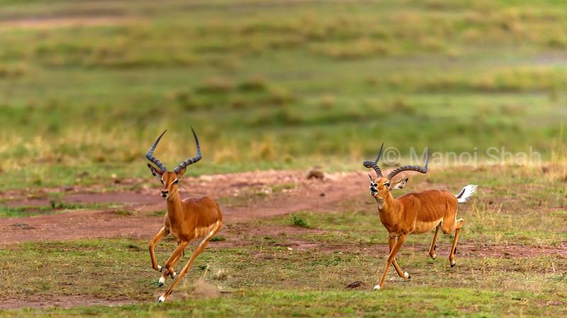 Male Impala chasing another in Masai Mara.