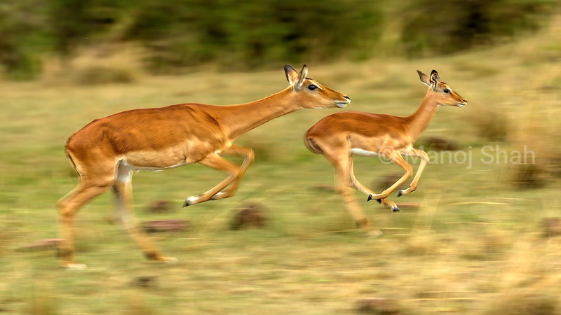 Impala mother and baby running from predators in Masai Mara