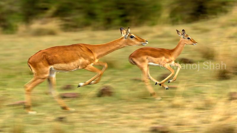 Impala mother and baby running from predators in Masai Mara