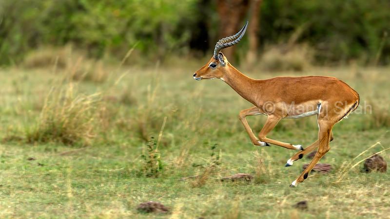 Male Impala running from predators in Masai Mara/