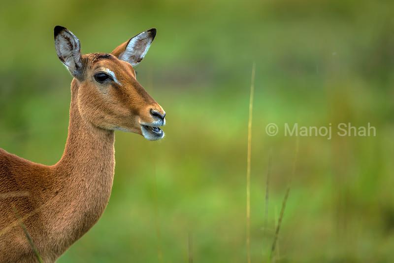 Female Impala chewing grass with enjoyment in Masai Mara.