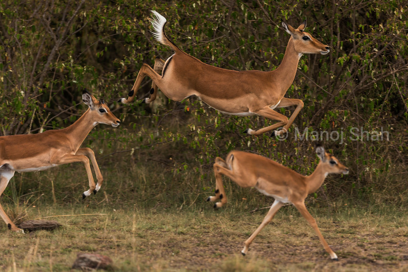 Female impalas  running