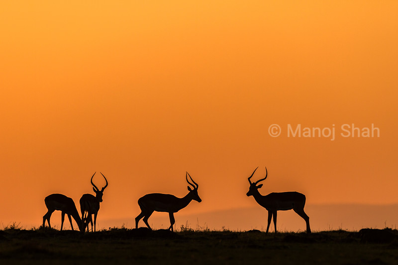 Male impalas about to start  play fighting at sunrise in Masai Mara.