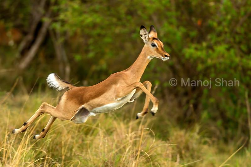 Female impala on the flee in Masai Mara.