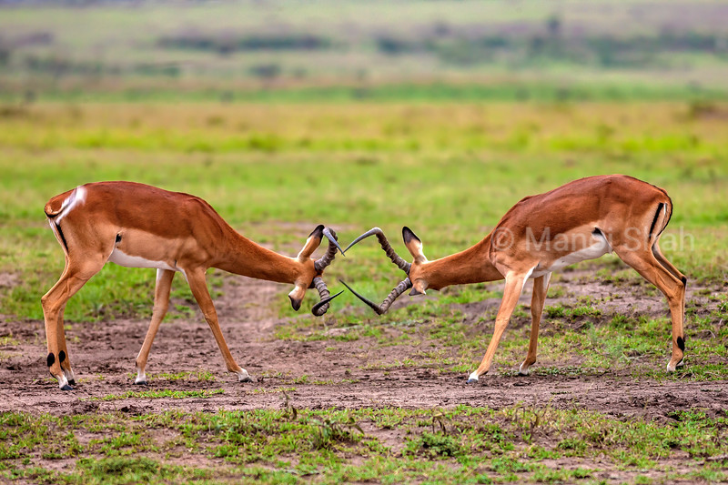 Male impalas play fighting in Masai Mara.