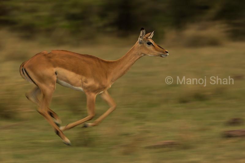 Female impala running