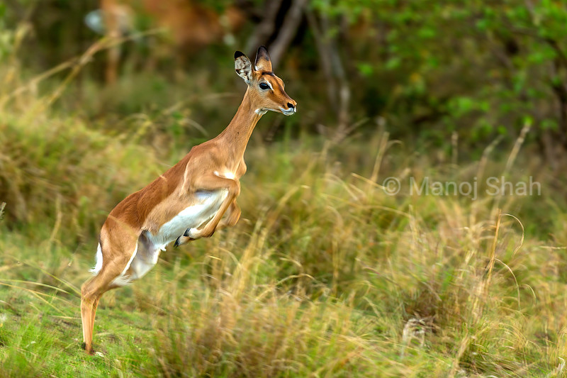 Female impala on the flee in Masai Mara.