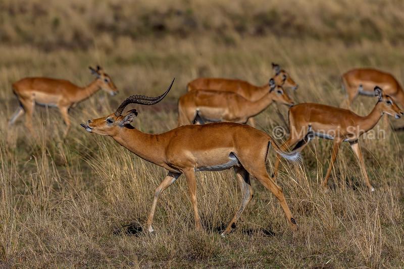 Male Impala herding female impala harem in Masai Mara