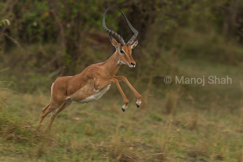 Male Impala running