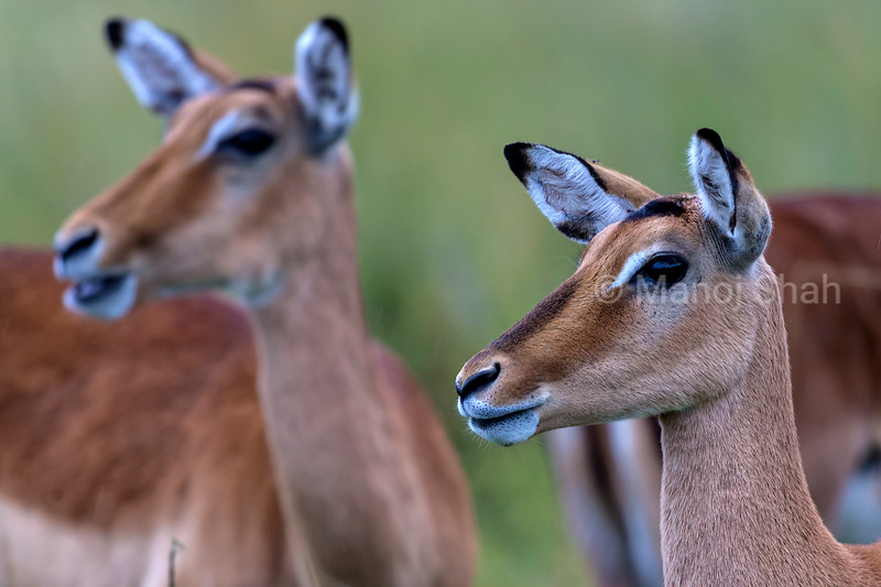 Female Impalas on the alert.