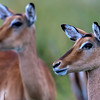 Female Impalas on the alert.