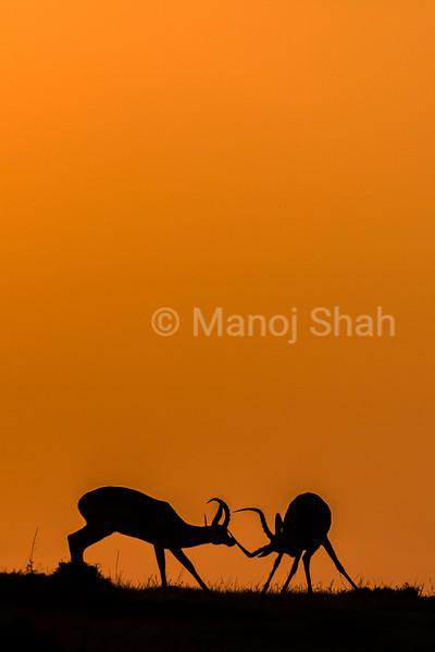 Male impalas play fighting at sunrise in Masai Mara.