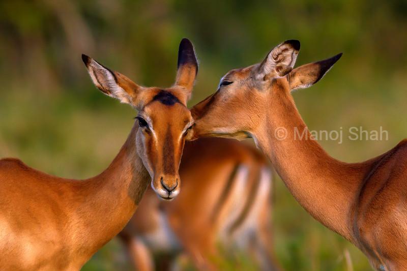 Female Impalas busy oral grooming  (aA typa of allogrooming) in Masai Mara.