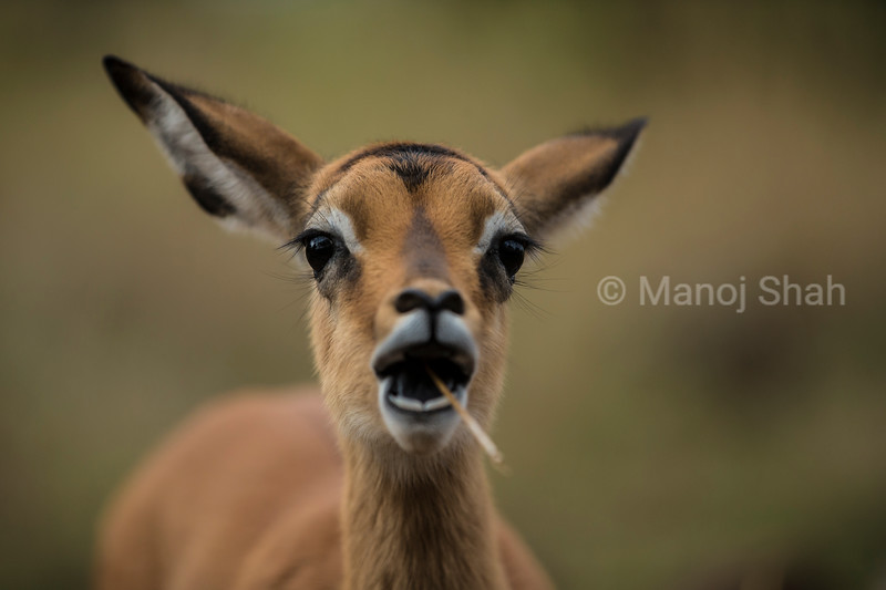 Impala Fawn grazing