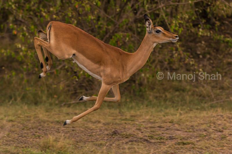 Female impalas  running