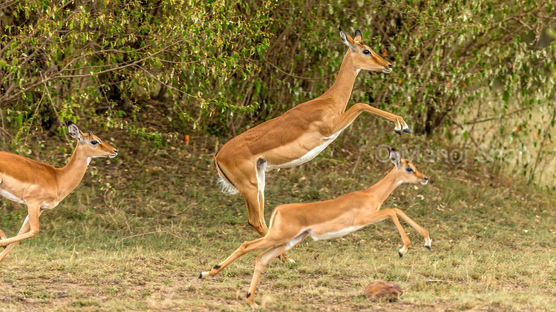 Female impala with young ones on the flee in Masai Mara.