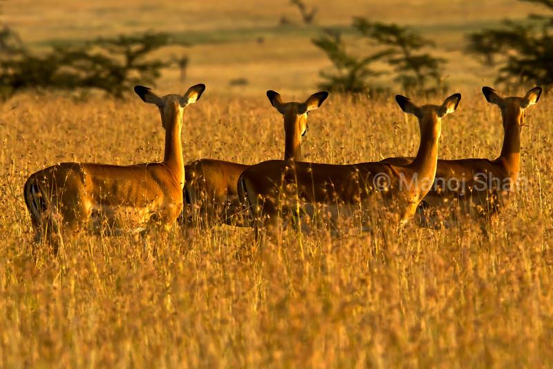 Impalas alert