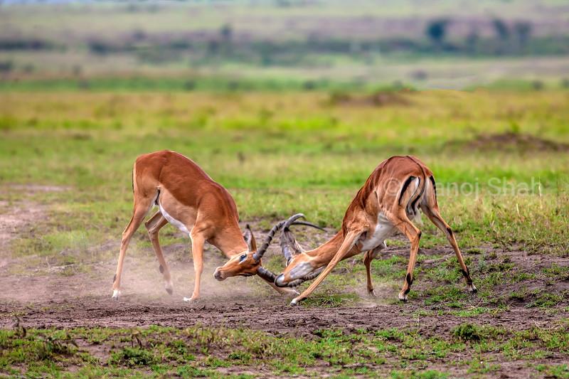 Male impalas play fighting in Masai Mara.