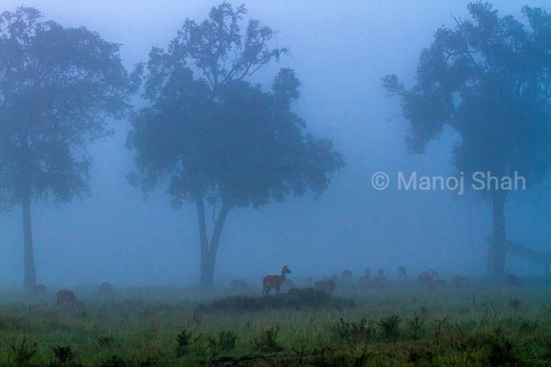 Harem of Female impalas outside the riverine forest on a cold amd foggy morning in Masai Mara.