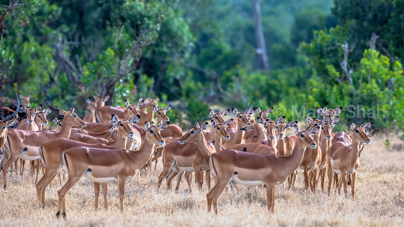 Female Impala Harem in Laikipia savanna, Kenya