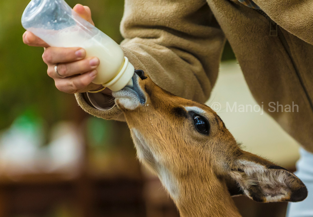 One early morning the impala baby was found alone by itself. The mother was probably killed by a predator.<br /> Personal care and feeding milk in a bottle madethe orphan survive.