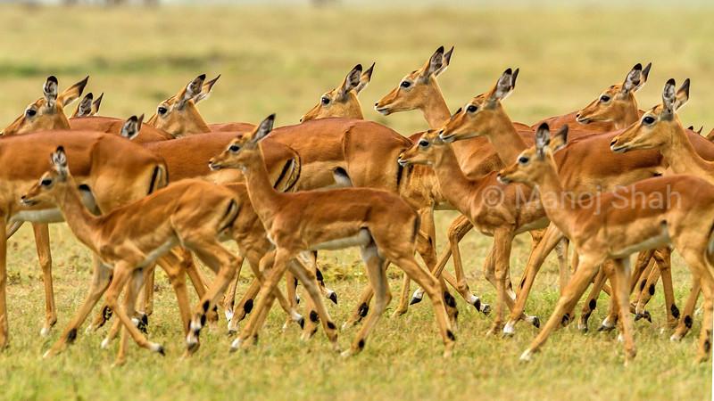 Female Impala harem moves to a safer place in Masai Mara.